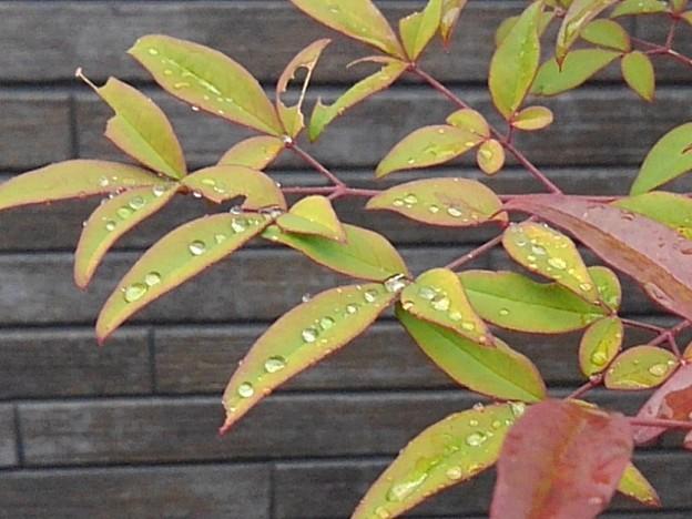 庭の葉(3月28日)