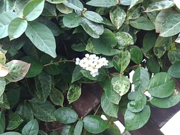 葉にユキヤナギの花が入る(4月4日)