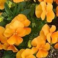 矢板駅の橙パンジー(4月2日)
