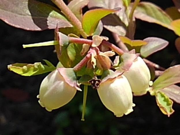 ブルーベリーの花(4月19日)