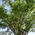 Photos: 街路樹の青葉(4月24日)