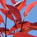 Photos: 赤い葉(4月23日)