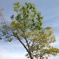 Photos: 街路樹(4月24日)