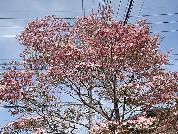 ピンクモクレン(4月24日)