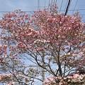 Photos: ピンクモクレン(4月24日)