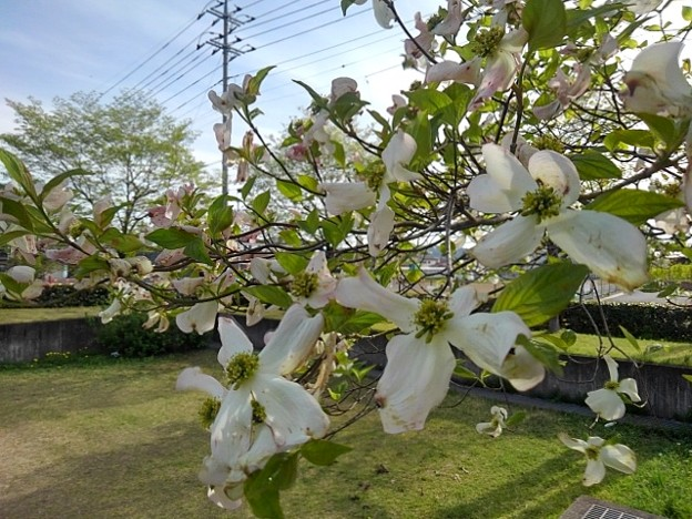 Photos: 白モクレン(4月24日)