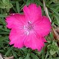 赤い花(4月25日)