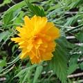 ヤマブキの花(4月25日)