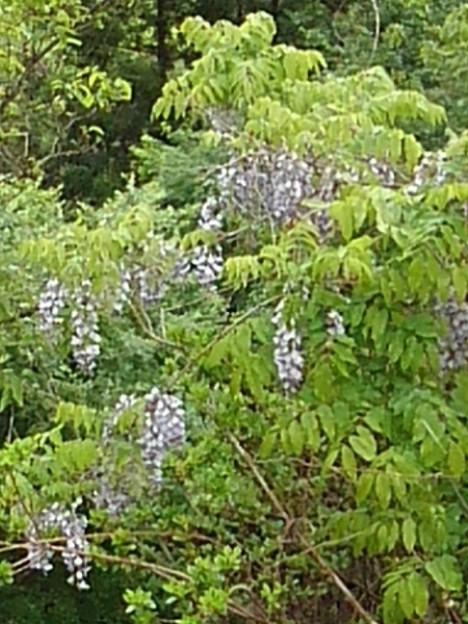 Photos: 川崎城跡の丘の藤の花(5月1日)