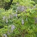 川崎城跡の丘の藤の花(5月1日)