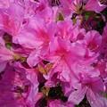 赤紫ツツジ(5月8日)