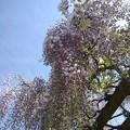 青空と藤の花(5月6日)
