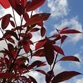 赤い葉(5月2日)