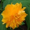 単体のヤマブキの花(4月28日)