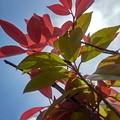 Photos: 赤と緑の葉(5月2日)