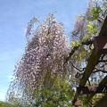 那須野が原公園の藤の花(5月6日)