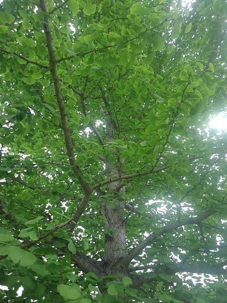 公園のイチョウの葉(5月5日)
