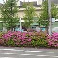 道路沿いのツツジの生け垣(5月16日)
