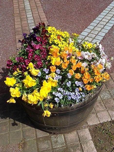 ゆうゆうパークの樽を再利用した鉢植え(5月4日)