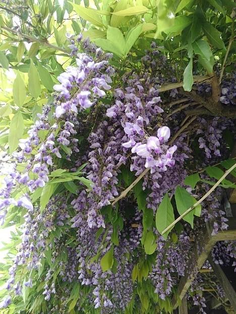 長峰公園の藤の花(5月9日)