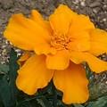 オレンジ色のマリーゴールド(5月8日)