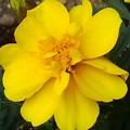 黄色いマリーゴールド(5月8日)