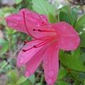 庭の濃いピンクのサツキ(5月18日)