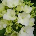 小さな公園の白い咲き始めアジサイ(6月8日)