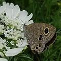 公園の蝶(6月2日)