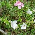 庭のサツキ(5月30日)