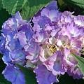 長峰公園の赤紫アジサイ(6月13日)