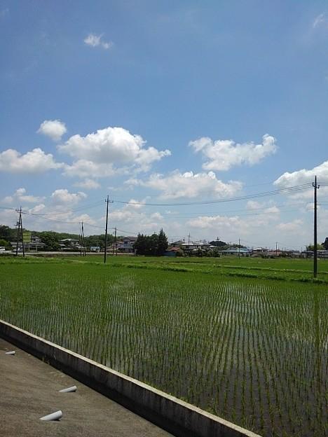 水田(5月31日)