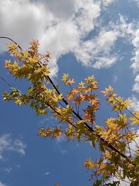庭のモミジと晴れた空(5月30日)