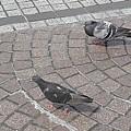 宇都宮駅の2羽の鳩(6月11日)