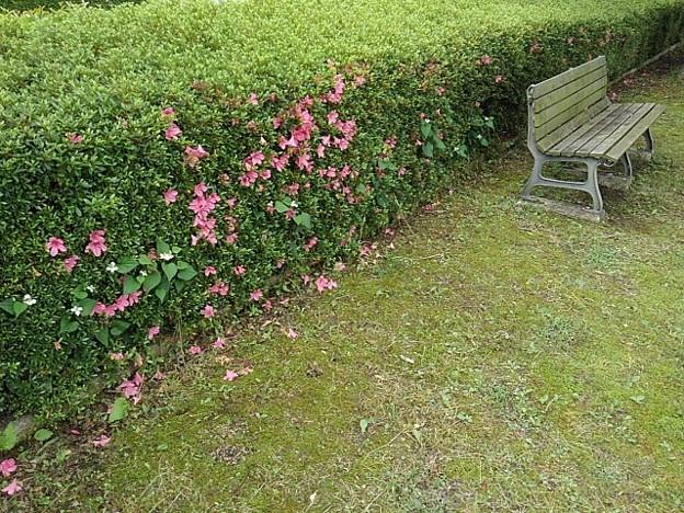 ツツジとベンチ(6月2日)