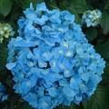 烏ヶ森公園の丘の水色のアジサイの花(6月20日)