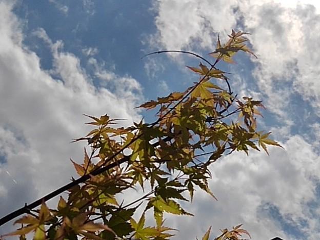 庭のモミジと雲(5月30日)