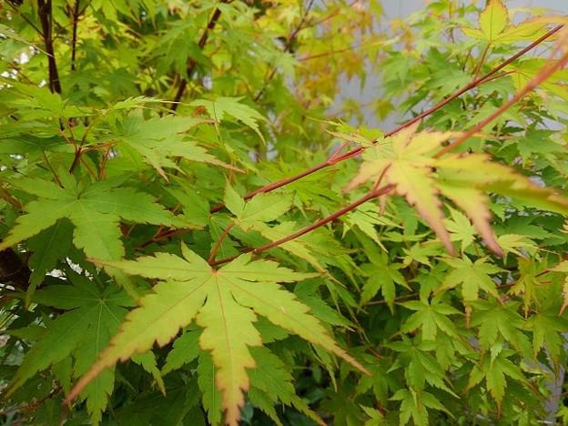 庭のモミジの葉(6月2日)