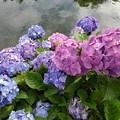 烏ヶ森公園の池の近くのカラフルなアジサイ(6月20日)