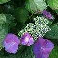 Photos: 烏ヶ森公園の紫のガクアジサイ(6月20日)