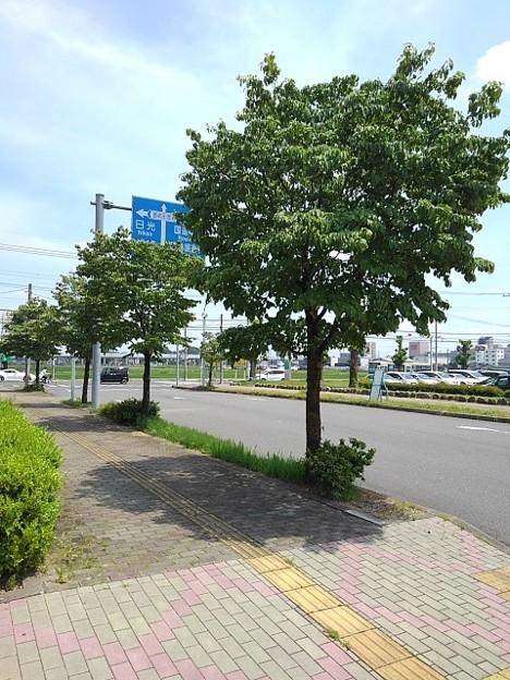 済生会宇都宮病院の街路樹(6月11日)