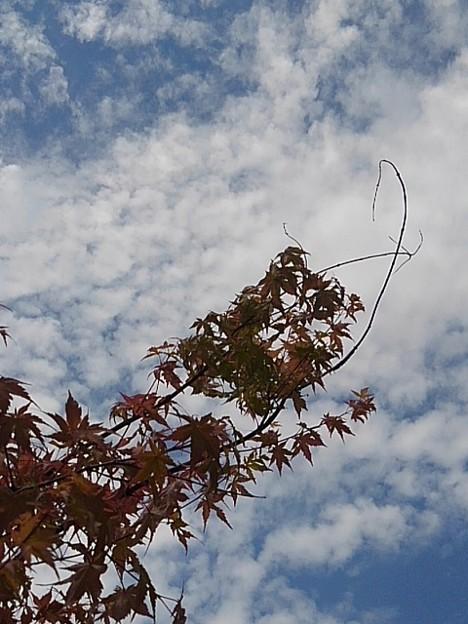 庭のモミジと空(6月17日)