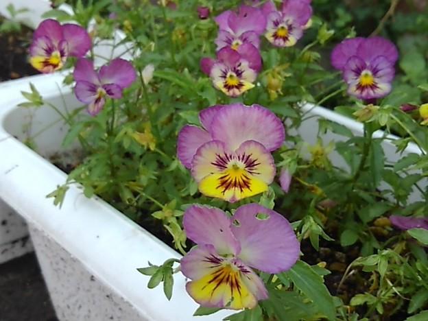 道の駅の紫パンジー(6月26日)