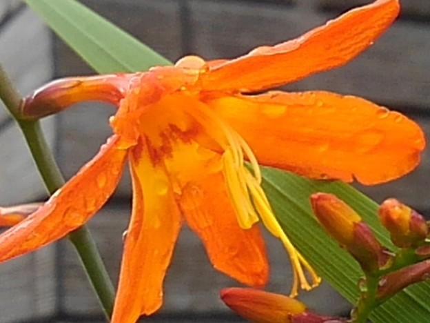 オレンジの花(6月29日)