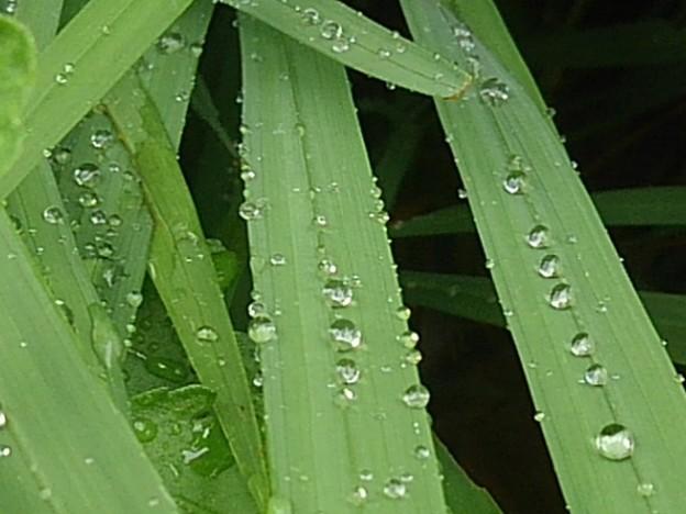 細い葉の雫(6月29日)