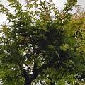 Photos: 街路樹のモミジ(6月25日)