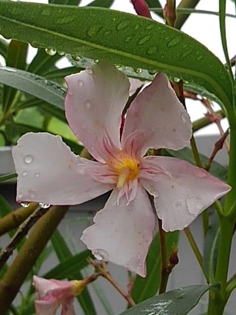 ピンクの花(7月7日)