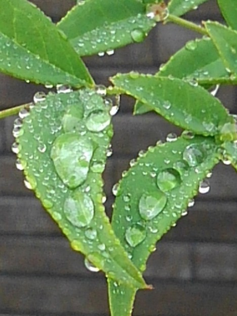 庭の葉(7月2日)