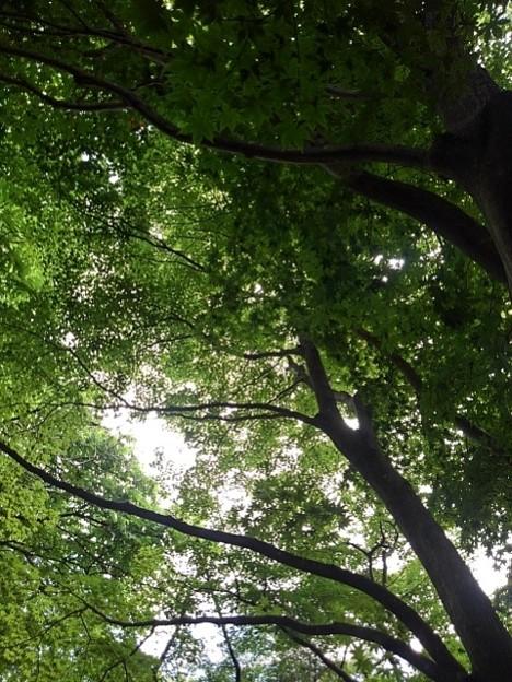 烏ヶ森公園の丘のモミジ(6月20日)
