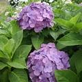 長峰公園の紫アジサイ(7月10日)